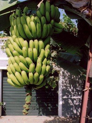 Narazíte i na takové trsy banánů (nahrál: admin2)