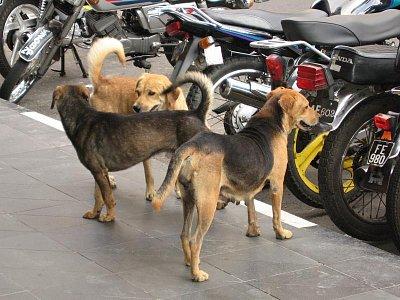 Smečky psů v centru města