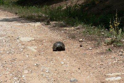 želva na horské cestě v Thassosu (nahrál: Alena Melicharová)